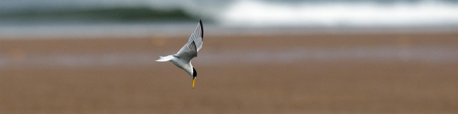 Humber West Little Tern
